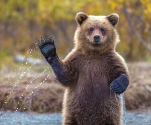 bear waiving
