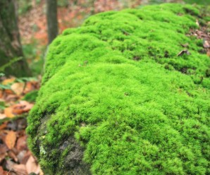 rockcap moss (dicranum) on large boulder at Moss  Acres location