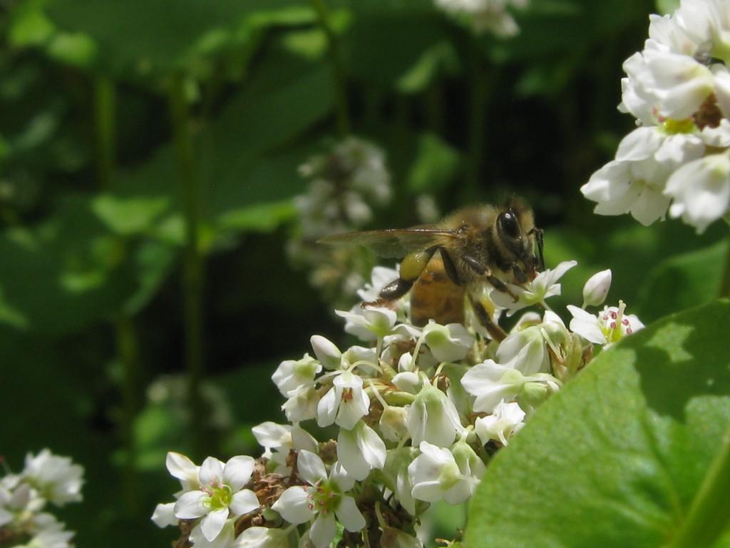honeybee-on-buckwheat-covercrop-at-The-Farm-Between