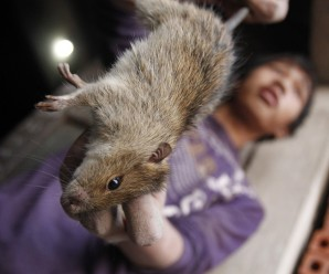 el-nino-effect-farmers-philippines-have-taken-eating-rats-due-acute-food-shortage-brought-by